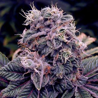 Blueberry Autoflowering Feminized Seeds  (5 cannabis seeds)