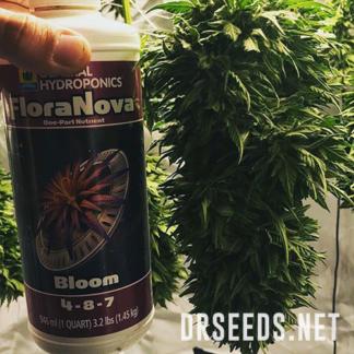 Bubba Kush Autoflowering Feminized Seeds (5 cannabis seeds)