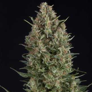 Dr. Seeds #5 Autoflowering Feminized Seeds (5 cannabis seeds)