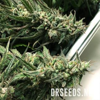 1:20 THC to CBD Photoperiod CBD Seeds (5 cannabis seeds)