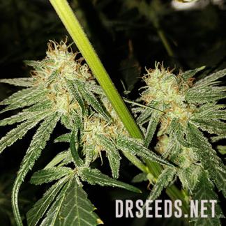 Powerplant Photoperiod Feminized Seeds (5 cannabis seeds)