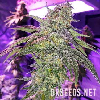 Wedding Cake Photoperiod Feminized Seeds (5 cannabis seeds)