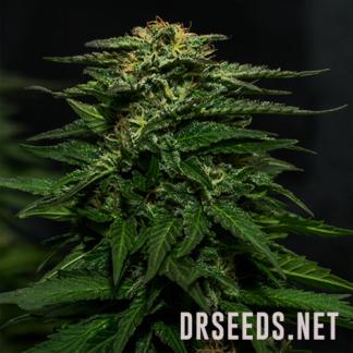 White Widow Photoperiod Feminized Seeds (5 cannabis seeds)
