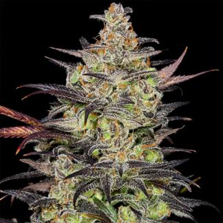 White Fire Alien Kush Photoperiod Feminized Seeds (5 cannabis seeds)