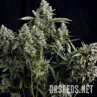 Tutankhamun Photoperiod Feminized Seeds (5 cannabis seeds)